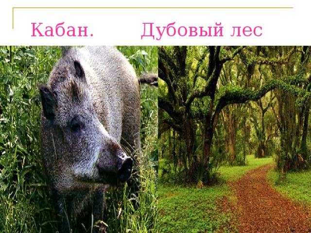 Кабан. Дубовый лес