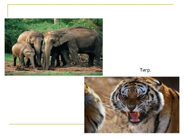 Семья индийских слонов. Тигр.