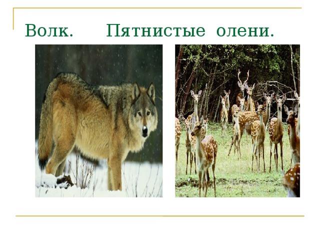 Волк. Пятнистые олени.