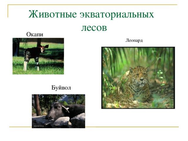 Животные экваториальных лесов Окапи Леопард Буйвол