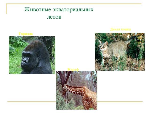 Животные экваториальных  лесов Дикая кошка Горилла Жираф