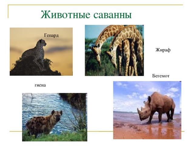Животные саванны Гепард Жираф Бегемот гиена