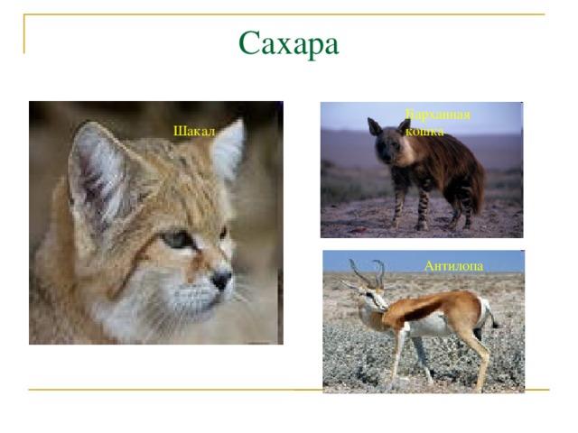 Сахара Барханная кошка Шакал Антилопа