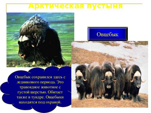 Арктическая пустыня Овцебык Овцебык сохранился здесь с ледникового периода. Это травоядное животное с густой шерстью. Обитает также в тундре. Овцебыки находятся под охраной.