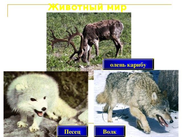 Животный мир олень карибу Песец Волк