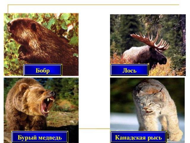 Лось Бобр Бурый медведь Канадская рысь