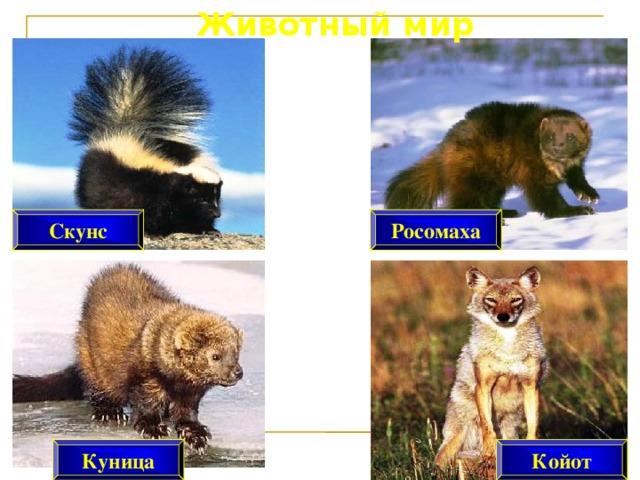 Животный мир Росомаха Скунс Койот Куница