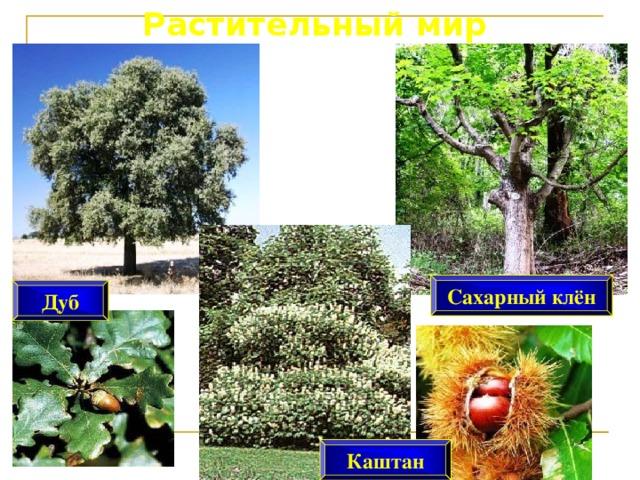 Растительный мир Сахарный клён Дуб Каштан