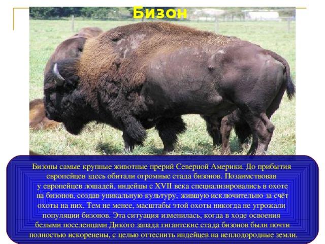 Бизон Бизоны самые крупные животные прерий Северной Америки. До прибытия европейцев здесь обитали огромные стада бизонов. Позаимствовав у европейцев лошадей, индейцы с XVII века специализировались в охоте  на бизонов, создав уникальную культуру, жившую исключительно за счёт охоты на них. Тем не менее, масштабы этой охоты никогда не угрожали популяции бизонов. Эта ситуация изменилась, когда в ходе освоения белыми поселенцами Дикого запада гигантские стада бизонов были почти  полностью искоренены, с целью оттеснить индейцев на неплодородные земли.