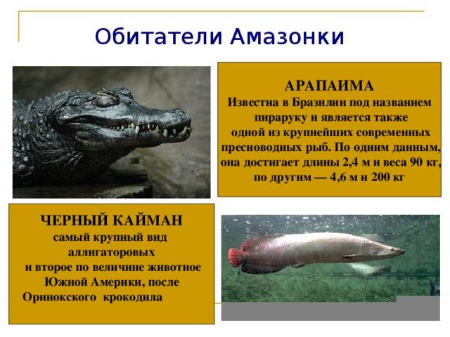 Обитатели Амазонки АРАПАИМА Известна в Бразилии под названием  пираруку и является также  одной из крупнейших современных  пресноводных рыб. По одним данным,  она достигает длины 2,4 м и веса 90 кг,  по другим — 4,6 м и 200 кг ЧЕРНЫЙ КАЙМАН самый крупный вид аллигаторовых  и второе по величине животное  Южной Америки, после Оринокского крокодила