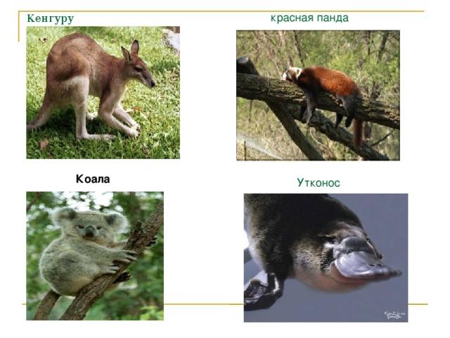 красная панда Кенгуру Коала Утконос