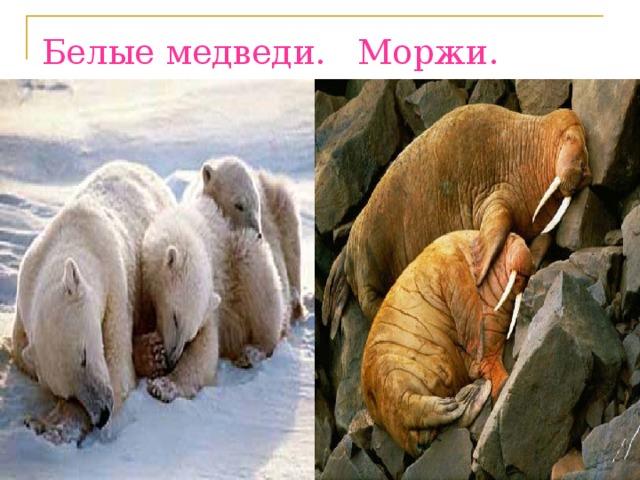 Белые медведи. Моржи.