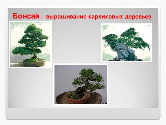 Бонсай – выращивание карликовых деревьев