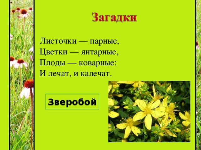 Травка та растёт на склонах  И на холмиках зелёных,  Запах крепок и душист,  А её зелёный лист  Нам идёт на чай.  Что за травка, отвечай! Душица