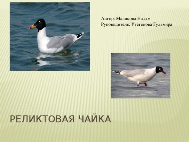 Автор: Маликова Назым Руководитель: Утегенова Гульмира  Реликтовая чайка