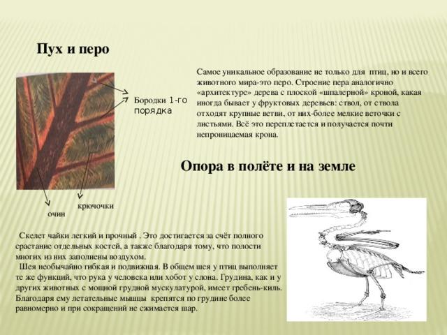 Пух и перо Самое уникальное образование не только для птиц, но и всего животного мира-это перо. Строение пера аналогично «архитектуре» дерева с плоской «шпалерной» кроной, какая иногда бывает у фруктовых деревьев: ствол, от ствола отходят крупные ветви, от них-более мелкие веточки с листьями. Всё это переплетается и получается почти непроницаемая крона. Бородки 1-го порядка Опора в полёте и на земле крючочки очин  Скелет чайки легкий и прочный . Это достигается за счёт полного срастание отдельных костей, а также благодаря тому, что полости многих из них заполнены воздухом.  Шея необычайно гибкая и подвижная. В общем шея у птиц выполняет те же функций, что рука у человека или хобот у слона. Грудина, как и у других животных с мощной грудной мускулатурой, имеет гребень-киль. Благодаря ему летательные мышцы крепятся по грудине более равномерно и при сокращений не сжимается шар.