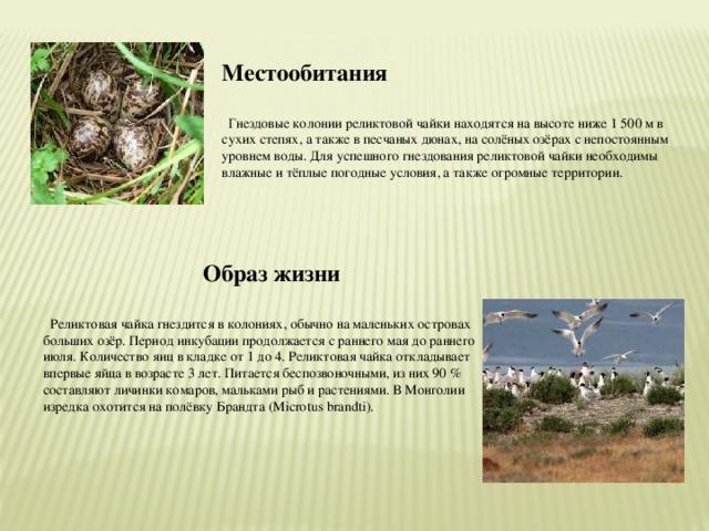 Местообитания   Гнездовые колонии реликтовой чайки находятся на высоте ниже 1 500 м в сухих степях, а также в песчаных дюнах, на солёных озёрах с непостоянным уровнем воды. Для успешного гнездования реликтовой чайки необходимы влажные и тёплые погодные условия, а также огромные территории.  Образ жизни   Реликтовая чайка гнездится в колониях, обычно на маленьких островах больших озёр. Период инкубации продолжается с раннего мая до раннего июля. Количество яиц в кладке от 1 до 4. Реликтовая чайка откладывает впервые яйца в возрасте 3 лет. Питается беспозвоночными, из них 90 % составляют личинки комаров, мальками рыб и растениями. В Монголии изредка охотится на полёвку Брандта (Microtus brandti).