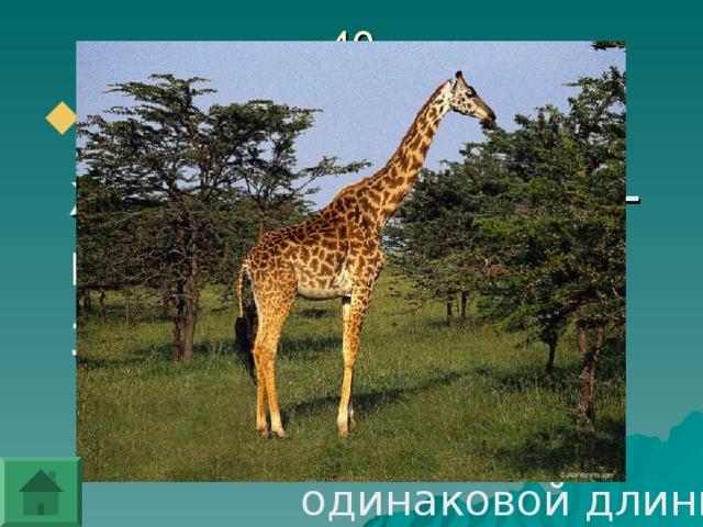 Какие ноги у жирафа длиннее - передние или задние?