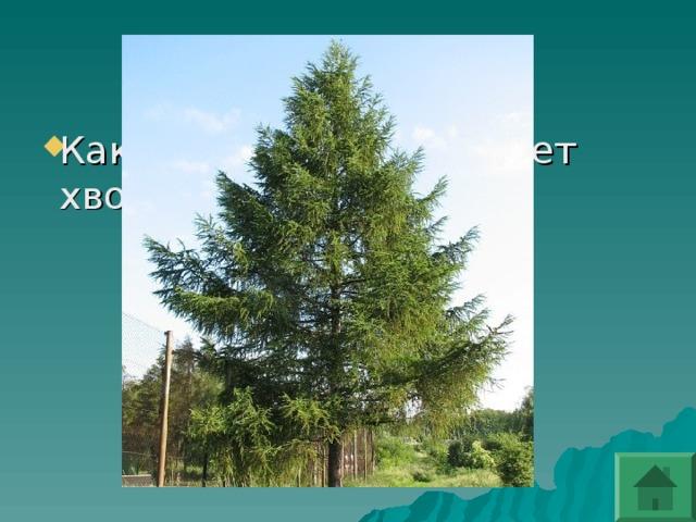 Какое дерево сбрасывает хвою на зиму?