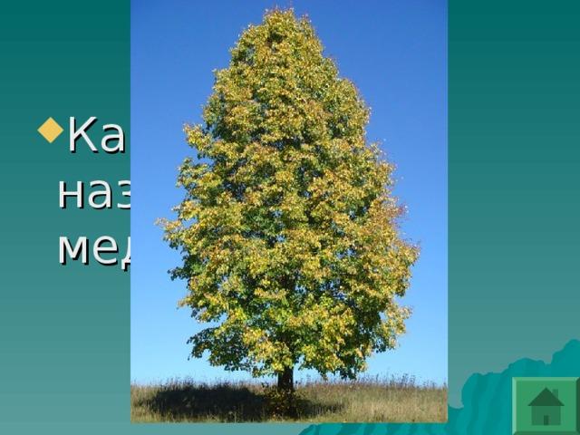 Какое дерево называют медовым?
