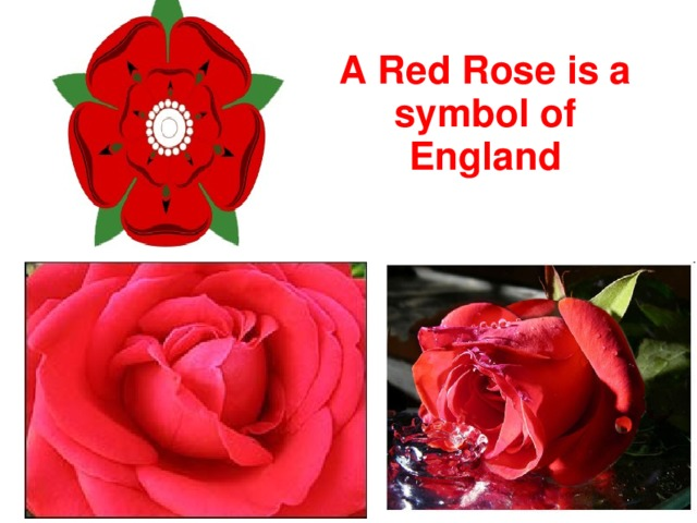 A Red Rose is a symbol of England