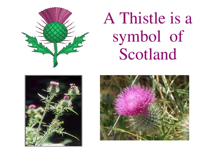 A Thistle is a symbol of Scotland