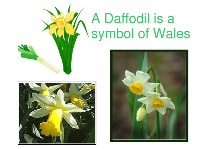A Daffodil is a symbol of Wales