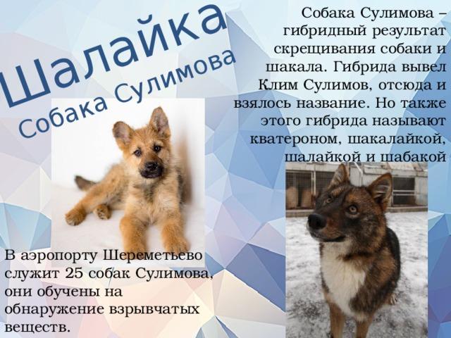 Собака Сулимова – гибридный результат скрещивания собаки и шакала. Гибрида вывел Клим Сулимов, отсюда и взялось название. Но также этого гибрида называют кватероном, шакалайкой, шалайкой и шабакой Шалайка Собака Сулимова В аэропорту Шереметьево служит 25 собак Сулимова, они обучены на обнаружение взрывчатых веществ.