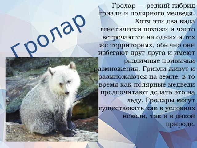 Гролар — редкий гибрид гризли и полярного медведя. Хотя эти два вида генетически похожи и часто встречаются на одних и тех же территориях, обычно они избегают друг друга и имеют различные привычки размножения. Гризли живут и размножаются на земле, в то время как полярные медведи предпочитают делать это на льду. Гролары могут существовать как в условиях неволи, так и в дикой природе.   Гролар