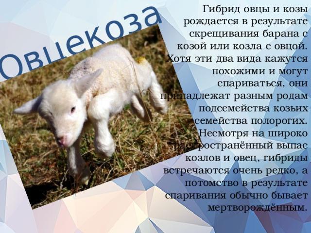 Гибридовцы и козы рождается в результате скрещивания барана с козой или козла с овцой. Хотя эти два вида кажутся похожими и могут спариваться, они принадлежат разным родам подсемейства козьих семейства полорогих. Несмотря на широко распространённый выпас козлов и овец, гибриды встречаются очень редко, а потомство в результате спаривания обычно бывает мертворождённым.   Овцекоза