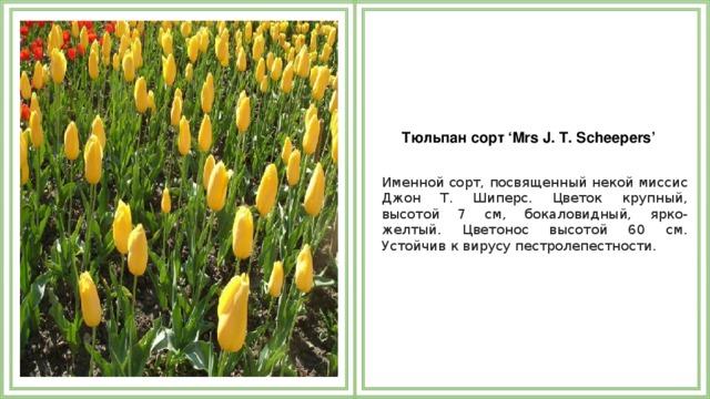 Тюльпан сорт 'Mrs J. T. Scheepers'  Именной сорт, посвященный некой миссис Джон Т. Шиперс. Цветок крупный, высотой 7 см, бокаловидный, ярко-желтый. Цветонос высотой 60 см. Устойчив к вирусу пестролепестности.