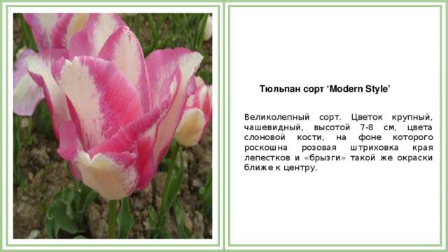 Тюльпан сорт 'Modern Style'  Великолепный сорт. Цветок крупный, чашевидный, высотой 7-8 см, цвета слоновой кости, на фоне которого роскошна розовая штриховка края лепестков и «брызги» такой же окраски ближе к центру.