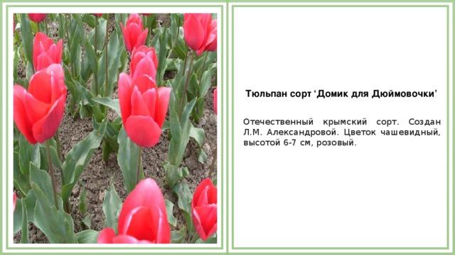 Тюльпан сорт 'Домик для Дюймовочки'  Отечественный крымский сорт. Создан Л.М. Александровой. Цветок чашевидный, высотой 6-7 см, розовый.