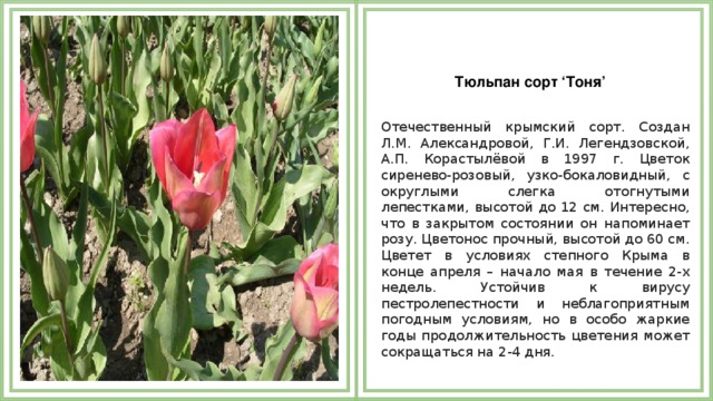 Тюльпан сорт 'Тоня'  Отечественный крымский сорт. Создан Л.М. Александровой, Г.И. Легендзовской, А.П. Корастылёвой в 1997 г. Цветок сиренево-розовый, узко-бокаловидный, с округлыми слегка отогнутыми лепестками, высотой до 12 см. Интересно, что в закрытом состоянии он напоминает розу. Цветонос прочный, высотой до 60 см. Цветет в условиях степного Крыма в конце апреля – начало мая в течение 2-х недель. Устойчив к вирусу пестролепестности и неблагоприятным погодным условиям, но в особо жаркие годы продолжительность цветения может сокращаться на 2-4 дня.
