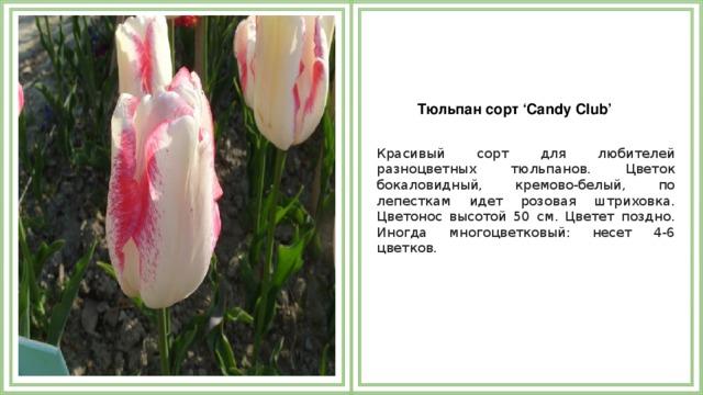 Тюльпан сорт 'Candy Club'  Красивый сорт для любителей разноцветных тюльпанов. Цветок бокаловидный, кремово-белый, по лепесткам идет розовая штриховка. Цветонос высотой 50 см. Цветет поздно. Иногда многоцветковый: несет 4-6 цветков.