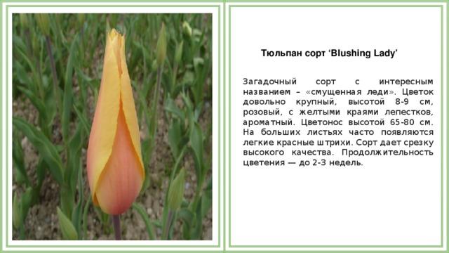 Тюльпан сорт 'Blushing Lady'  Загадочный сорт с интересным названием – «смущенная леди». Цветок довольно крупный, высотой 8-9 см, розовый, с желтыми краями лепестков, ароматный. Цветонос высотой 65-80 см. На больших листьях часто появляются легкие красные штрихи. Сорт дает срезку высокого качества. Продолжительность цветения — до 2-3 недель.