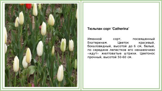 Тюльпан сорт 'Catherina'  Именной сорт, посвященный Екатеринам. Цветок красивый, бокаловидный, высотой до 6 см, белый, по середине лепестков его ненавязчиво «идут» желтоватые штрихи. Цветонос прочный, высотой 50-60 см.