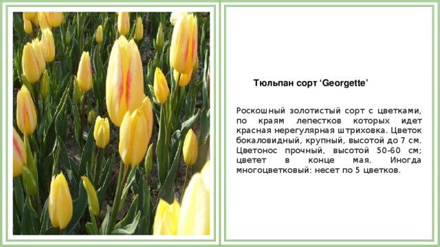 Тюльпан сорт 'Georgette'  Роскошный золотистый сорт с цветками, по краям лепестков которых идет красная нерегулярная штриховка. Цветок бокаловидный, крупный, высотой до 7 см. Цветонос прочный, высотой 50-60 см; цветет в конце мая. Иногда многоцветковый: несет по 5 цветков.