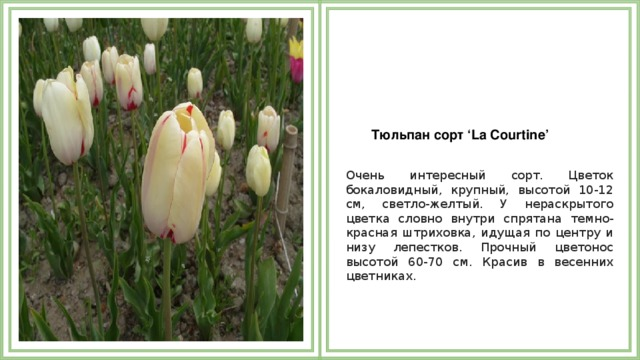 Тюльпан сорт 'La Courtine'  Очень интересный сорт. Цветок бокаловидный, крупный, высотой 10-12 см, светло-желтый. У нераскрытого цветка словно внутри спрятана темно-красная штриховка, идущая по центру и низу лепестков. Прочный цветонос высотой 60-70 см. Красив в весенних цветниках.