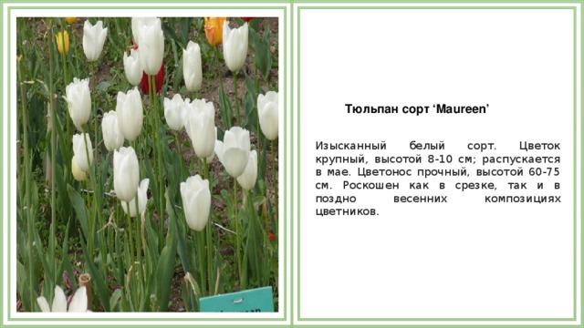 Тюльпан сорт 'Maureen'  Изысканный белый сорт. Цветок крупный, высотой 8-10 см; распускается в мае. Цветонос прочный, высотой 60-75 см. Роскошен как в срезке, так и в поздно весенних композициях цветников.