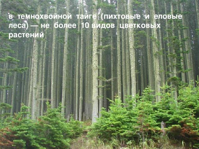 в темнохвойной тайге (пихтовые и еловые леса) — не более 10 видов цветковых растений