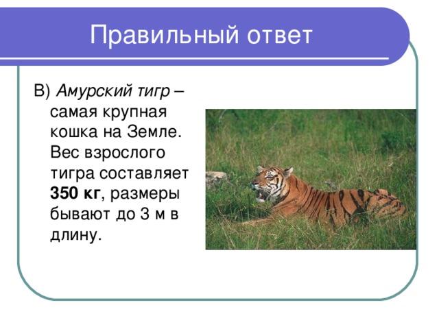 В) Амурский тигр – самая крупная кошка на Земле. Вес взрослого тигра составляет 350 кг , размеры бывают до 3 м в длину.