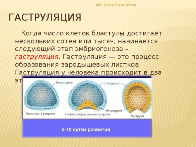 Фот Ольга Николаевна гаструляция  Когда число клеток бластулы достигает нескольких сотен или тысяч, начинается следующий этап эмбриогенеза – гаструляция . Гаструляция — это процесс образования зародышевых листков. Гаструляция у человека происходит в два этапа.