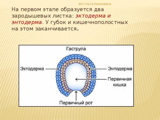 Фот Ольга Николаевна На первом этапе образуется два зародышевых листка: эктодерма и энтодерма . У губок и кишечнополостных на этом заканчивается .
