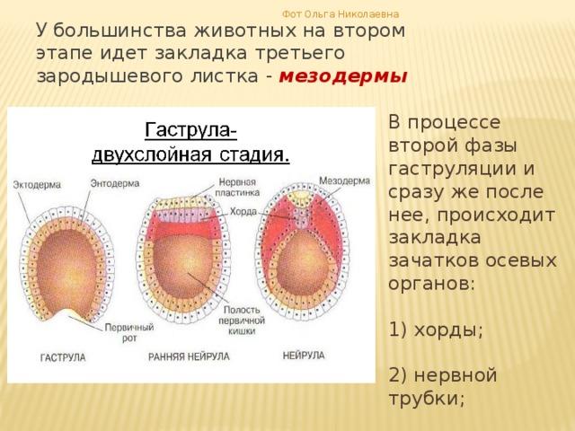 Фот Ольга Николаевна У большинства животных на втором этапе идет закладка третьего зародышевого листка - мезодермы В процессе второй фазы гаструляции и сразу же после нее, происходит закладка зачатков осевых органов: 1) хорды; 2) нервной трубки; 3) кишечной трубки .