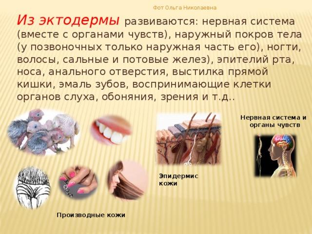 Фот Ольга Николаевна Из эктодермы развиваются: нервная система (вместе с органами чувств), наружный покров тела (у позвоночных только наружная часть его), ногти, волосы, сальные и потовые желез), эпителий рта, носа, анального отверстия, выстилка прямой кишки, эмаль зубов, воспринимающие клетки органов слуха, обоняния, зрения и т.д.. Нервная система и органы чувств Эпидермис кожи Производные кожи