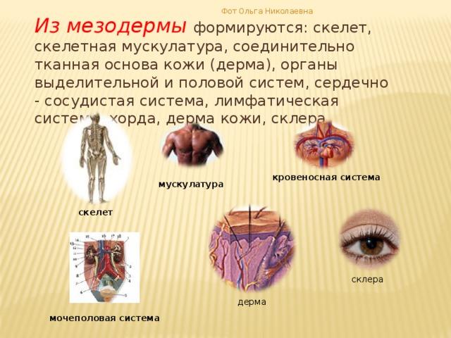Фот Ольга Николаевна Из мезодермы формируются: скелет, скелетная мускулатура, соединительно тканная основа кожи (дерма), органы выделительной и половой систем, сердечно - сосудистая система, лимфатическая система, хорда, дерма кожи, склера кровеносная система мускулатура скелет склера дерма мочеполовая система