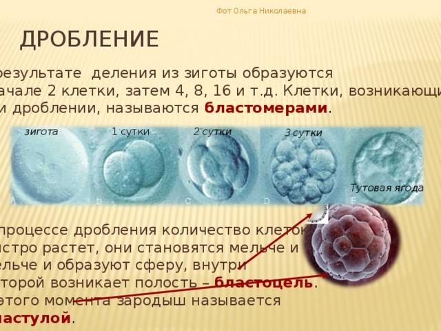 Фот Ольга Николаевна дробление В результате деления из зиготы образуются вначале 2 клетки, затем 4, 8, 16 и т.д. Клетки, возникающие при дроблении, называются бластомерами . 2 сутки зигота 1 сутки 3 сутки Тутовая ягода В процессе дробления количество клеток быстро растет, они становятся мельче и мельче и образуют сферу, внутри которой возникает полость – бластоцель . С этого момента зародыш называется бластулой .