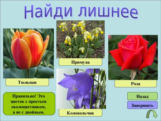 Примула Тюльпан Роза Правильно! Это цветок с простым околоцветником, а не с двойным. Назад Завершить Колокольчик