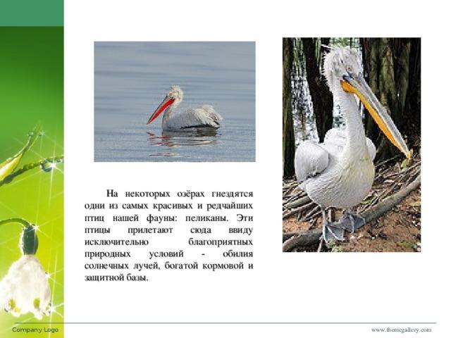 На некоторых озёрах гнездятся одни из самых красивых и редчайших птиц нашей фауны: пеликаны. Эти птицы прилетают сюда ввиду исключительно благоприятных природных условий - обилия солнечных лучей, богатой кормовой и защитной базы. www.themegallery.com Company Logo